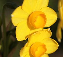 Daffodil by Artimagery