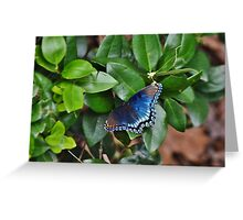 Red Spotted Purple - Greeting Card Greeting Card