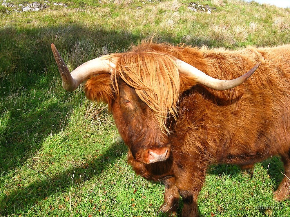 More Highland Bull ~ What Is So Rare...? by artwhiz47