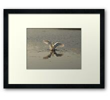 magestic swan Framed Print