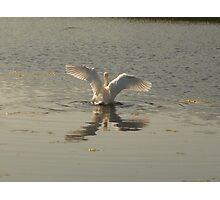 magestic swan Photographic Print