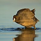 Coot with Attitude by Daniel  Parent
