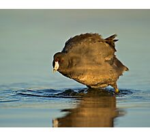 Coot with Attitude Photographic Print
