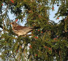 Fieldfare in yew by Grandalf