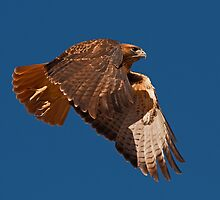 111910 Red Tailed Hawk by Marvin Collins