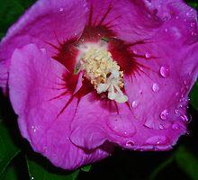 Purple Hibiscus by pix-elation