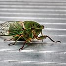Cicada in HDR by Jason Ruth