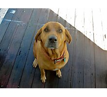 Candy the lab/bloodhound cutie Photographic Print