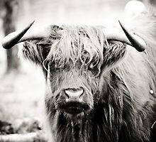 Highland Cow by designbyfee