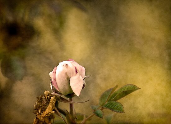 The Last Rose of the Season by Robin Webster
