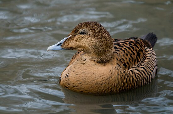 Common Female Eider - (Somateria mollissima) by Robert Taylor