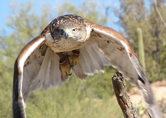 Ferruginous Hawk ~ Spot On! by Kimberly Chadwick