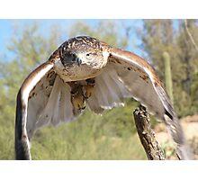 Ferruginous Hawk ~ Spot On! Photographic Print