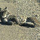 Bobcat ~ Non-captive by Kimberly Chadwick