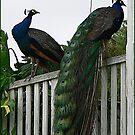 Peacocks by Eeva47