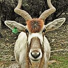 Addax - An Antelope with Style by Susan Russell