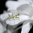 Minor Mantis by Macky