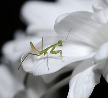 Minor Mantis by Macky