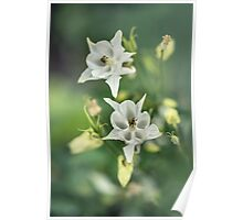 White and pastel yellow columbine flowers Poster