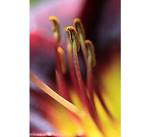 Hemerocallis Photographic Print