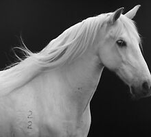 Grey Andalusian Horse by laurasonja