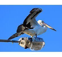 Pelican on light pole , Narrabeen bridge Photographic Print