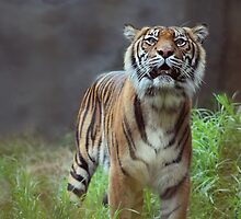 Tiger  by Ashleigh Wilson