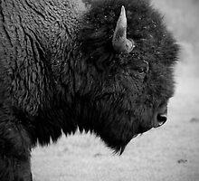Buffalo - Mammoth, Yellowstone National Park by laurasonja