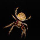 Garden Orb Weaver by yeuxdechat