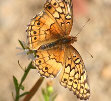Variegated Fritillary Butterfly by Terry Aldhizer