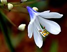 Agapanthus - Old Blue Eyes by Antionette