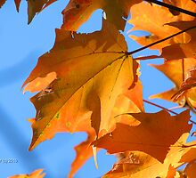 Autumn Maple Leaves In Backyard by Terry Aldhizer