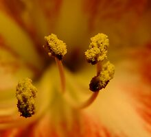 Amaryllis Kiss by Tracy Faught