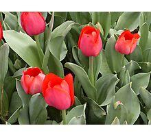Bowral Tulip Festival 1 Photographic Print