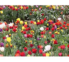 Bowral Tulip Festival 2 Photographic Print