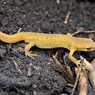 Palmate Newt - Greenhouse visitor by Sandra O'Connor