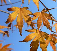 golden maple by LisaBeth