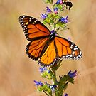 Monarch Butterfly - 33 by Michael Cummings