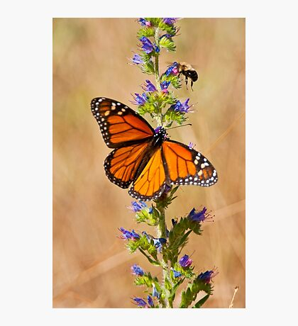 Monarch Butterfly - 33 Photographic Print