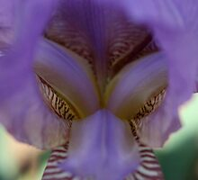 Purple Iris by Amy  Wessinger