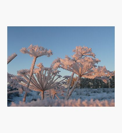 Haw Frost on Fennel Photographic Print