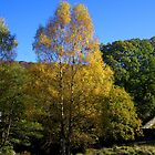 glorious autumn birch2 by Ilapin