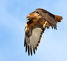 1119101 Red Tailed Hawk by Marvin Collins