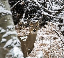 Young white-tailed doe in the snow by amontanaview