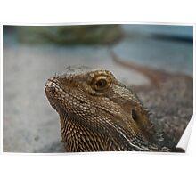 Bearded Dragon Closeup Poster