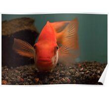 Big Goldfish? Poster