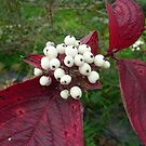 Red Dogwood Berries by Pippa Black