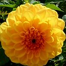 A Lovely Yellow Dalia by Angela Gannicott