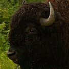 Bison Profile by ArianaMurphy