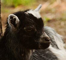 Black and White Baby Goat by ArianaMurphy